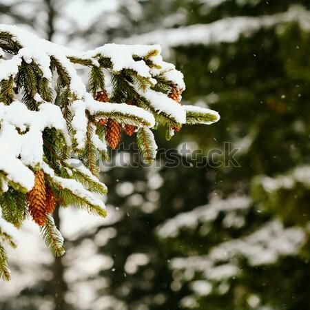Fircones Stock photo © velkol