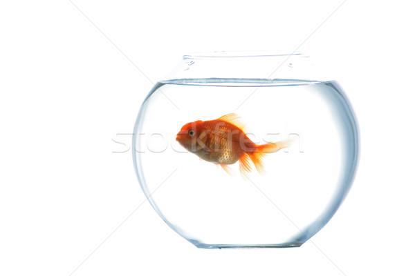 золото рыбы аквариум изображение Goldfish стекла Сток-фото © velkol