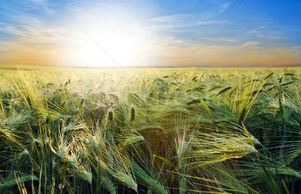 Orge image belle domaine soleil paysage Photo stock © velkol