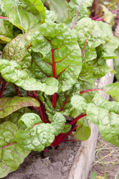 新鮮な 植物 市場 庭園 表示 葉 ストックフォト © veralub