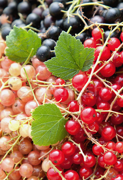 Colourful currants in assorted colours Stock photo © veralub