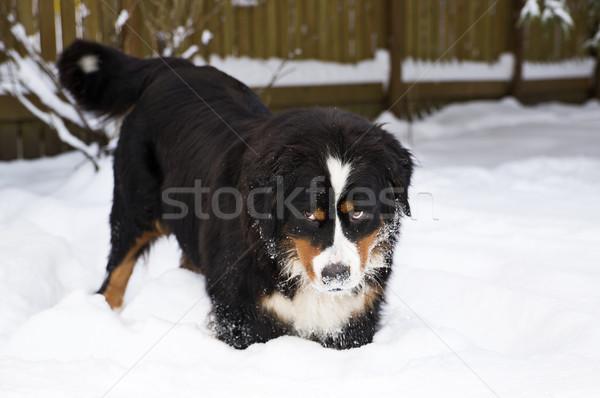 Montagne chien marionnette mère neige bouvier bernois Photo stock © vetdoctor