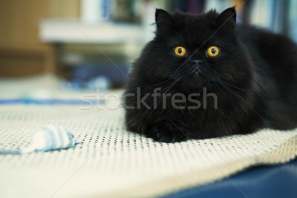 Male cat looking attentively at photo camera Stock photo © vetdoctor