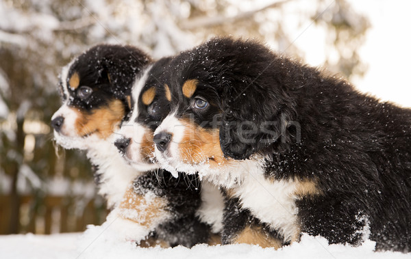 Berneński pies pasterski gotowy grać gry dzieci kot Zdjęcia stock © vetdoctor