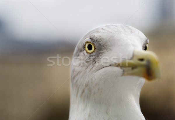 Seagull zoomed face pointed at camera focus Stock photo © vetdoctor