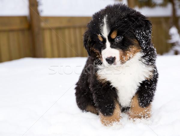 Berneński pies pasterski lalek patrząc ostrożnie odizolowany dzieci Zdjęcia stock © vetdoctor