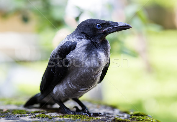 Black crown falled from tree is concerned Stock photo © vetdoctor