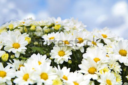 Bundle of chamomiles are on blue sky Stock photo © vetdoctor
