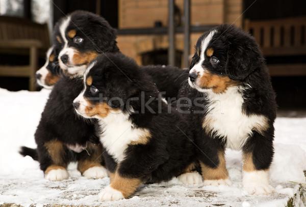 Montagne chien prêt jeu bouvier bernois enfants Photo stock © vetdoctor