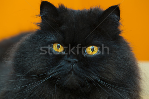 Relaxed black male cat at orange background Stock photo © vetdoctor