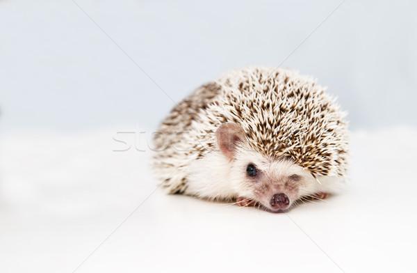 Hedgehog on white studio background squeezes eye Stock photo © vetdoctor
