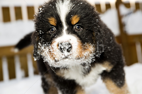 Bernese mountain dog puppet is sniffing camera Stock photo © vetdoctor