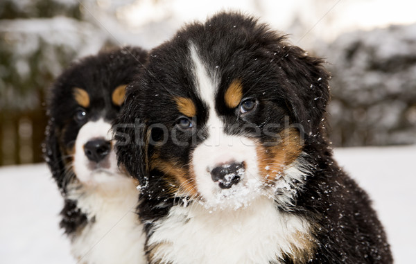 Stock photo: Bernese mountain dog puppest looking at camera