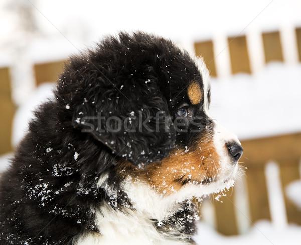 горные собака марионеточного глядя различный способом Сток-фото © vetdoctor