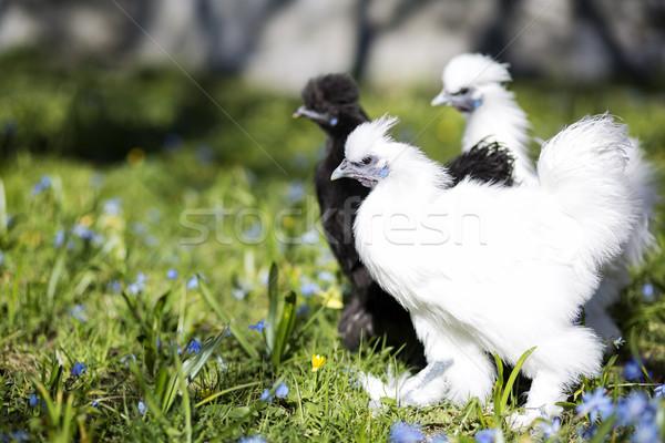 Drei Huhn bereit starten Kampf schwarz weiß Stock foto © vetdoctor