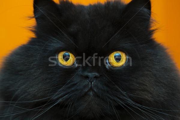 Frightened black male cat at orange background Stock photo © vetdoctor
