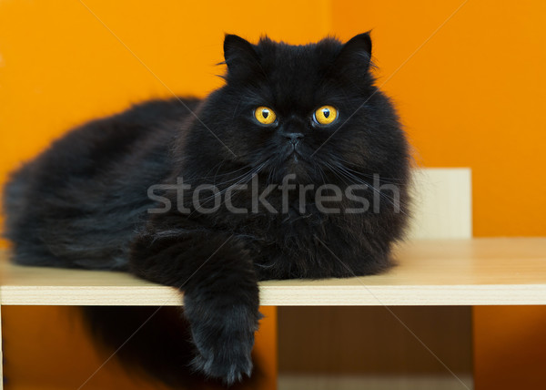 Male cat taking rest at orange background Stock photo © vetdoctor