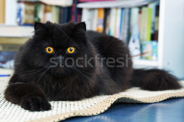 Male cat show interest at photo camera Stock photo © vetdoctor