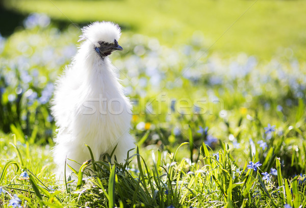 Little white silkie hen staring Stock photo © vetdoctor