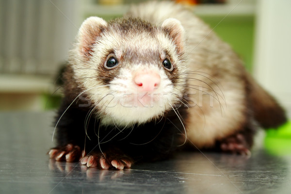 Close-up of ferret, 3 years old, on the iron table Stock photo © vetdoctor