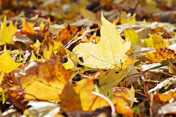 Yellowing maple tree leafes lay on ground Stock photo © vetdoctor