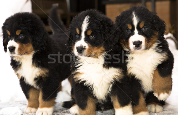 Mountain dog puppets watching seriously after movement Stock photo © vetdoctor