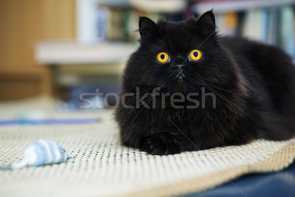 Male cat looking curiously at photo camera Stock photo © vetdoctor