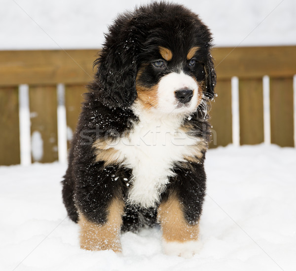 Bernese mountain dog puppet patience is down Stock photo © vetdoctor