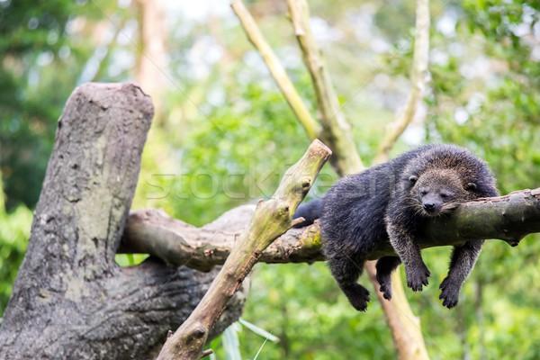 Stock photo: wild bearcat sleeping