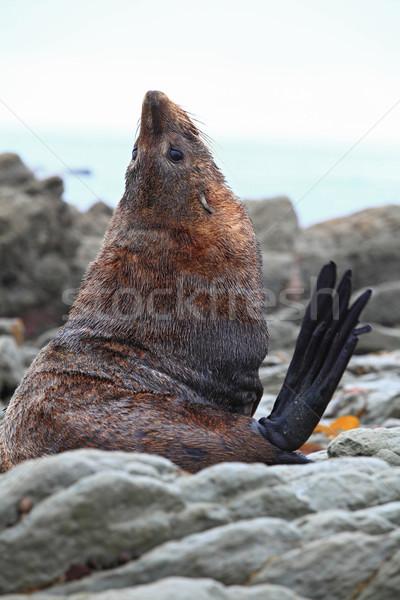 Sea lion Stock photo © vichie81