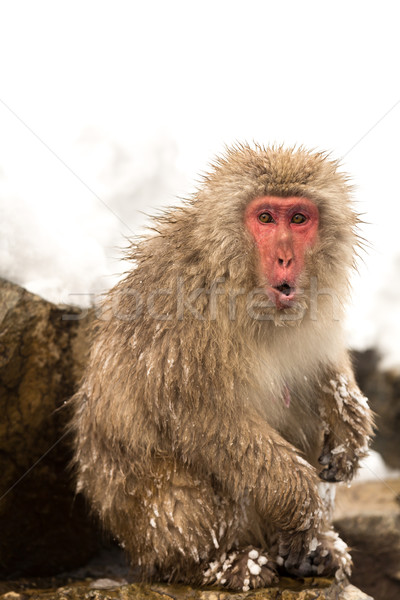 Japanese Snow Monkey Stock photo © vichie81