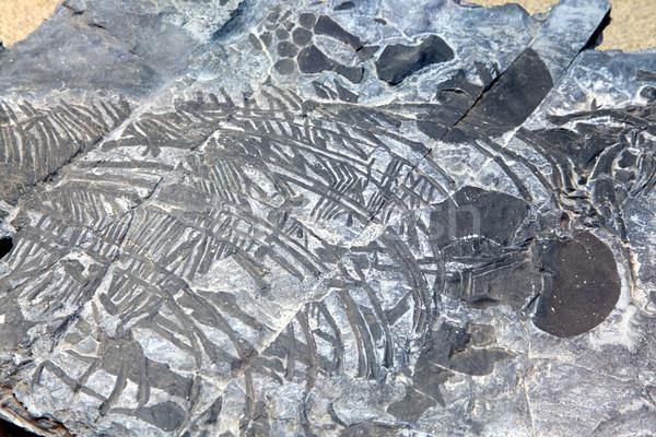 ichthyosaur fossil  Stock photo © vichie81