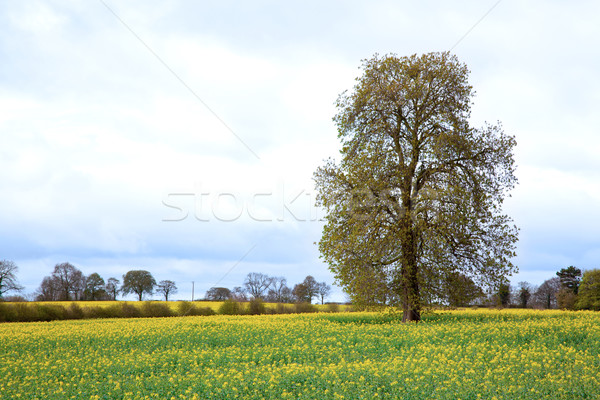 Tree with Field Stock photo © vichie81