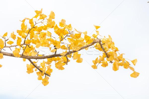 Ginkgo trees Autumn Stock photo © vichie81