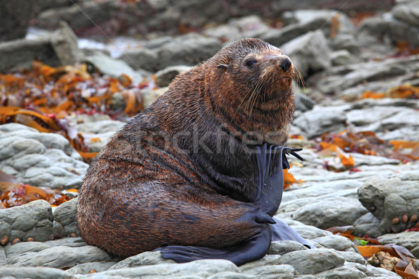 relaxing wild seal Stock photo © vichie81