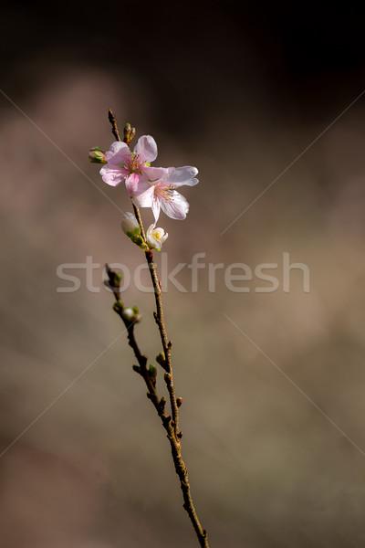 Sakura primavera fiore albero natura Foto d'archivio © vichie81