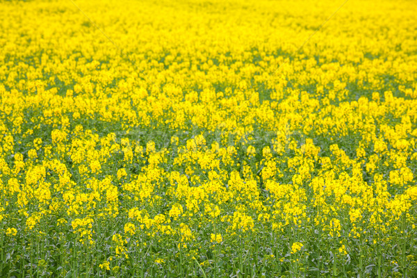 Canola oil seed flower Field Stock photo © vichie81