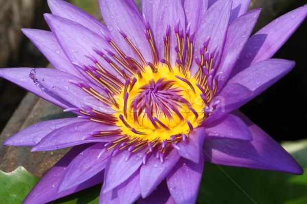 Stok fotoğraf: Su · zambak · lotus · makro · atış · mor