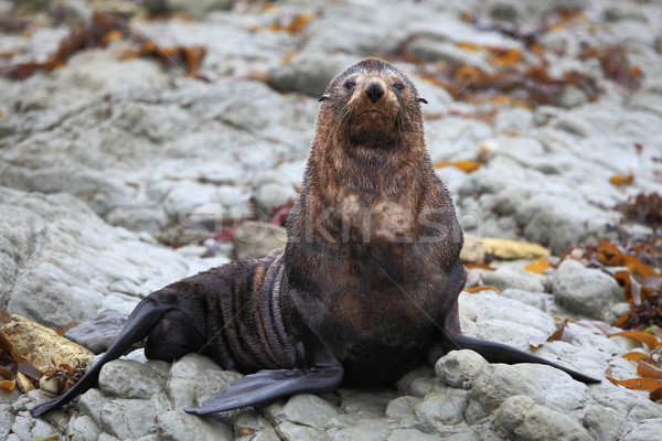 wild seal at Seal colony Stock photo © vichie81