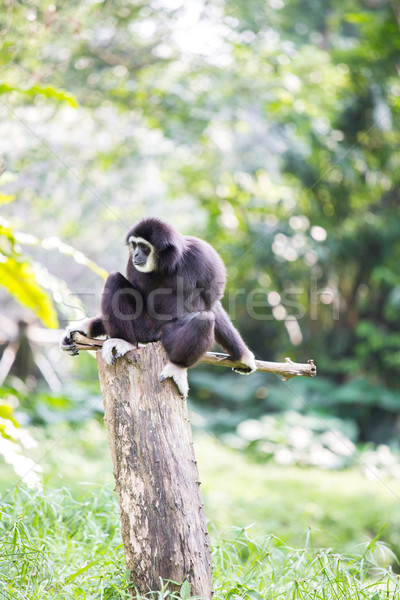 White hand Gibbon monkey Stock photo © vichie81