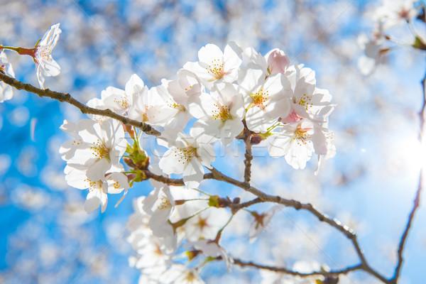 Sakura sole fiore primavera Foto d'archivio © vichie81