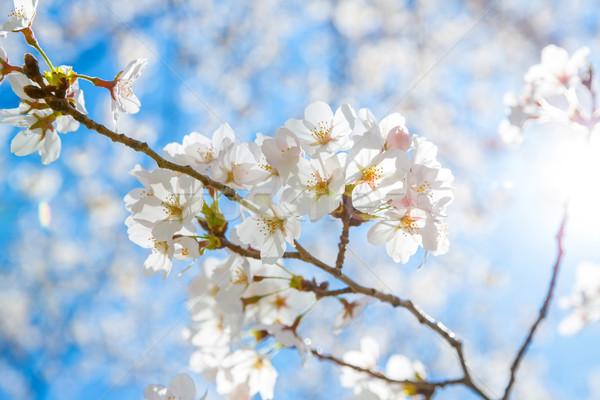 Stock photo: Sakura cherry Blossoms