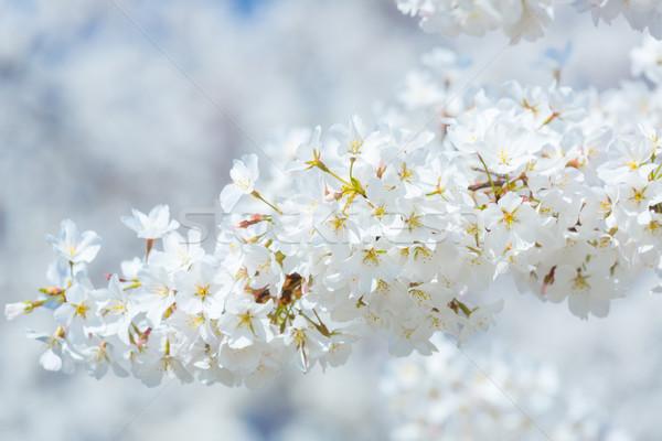 Stock fotó: Sakura · cseresznyevirágzás · nap · nyaláb · virág · tavasz