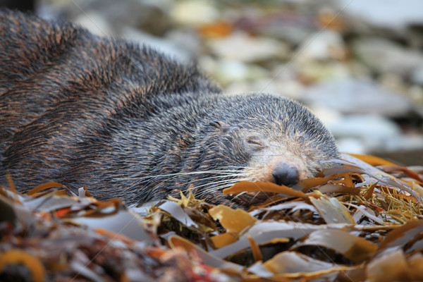 sleeping wild seal Stock photo © vichie81