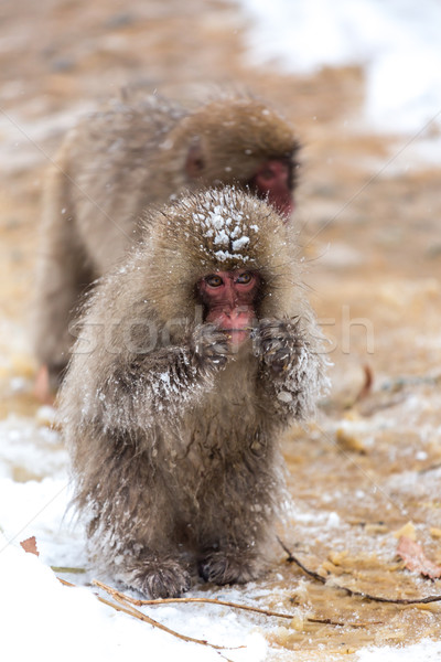Japanese Snow Monkey Macaque  Stock photo © vichie81
