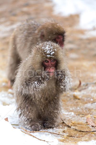 Japanese Snow Monkey Macaque  Stock photo © vichie81