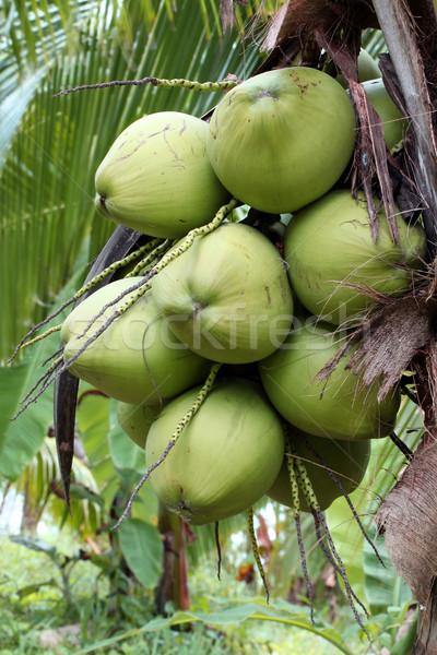 Coco árvore frutífera tropical árvore fruto Foto stock © vichie81