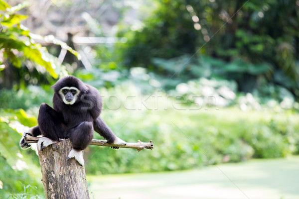 White hand Gibbon Stock photo © vichie81