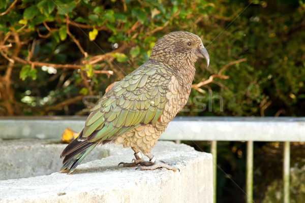 Kea Bird Stock photo © vichie81