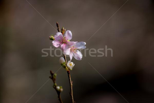 Sakura bahar Japonya çiçek doğa Stok fotoğraf © vichie81